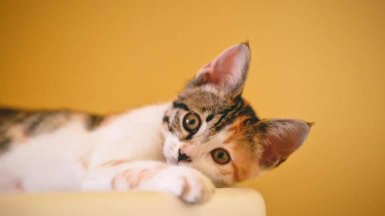 7-curiosidades-sobre-o-seu-gato-que-você-precisa-saber